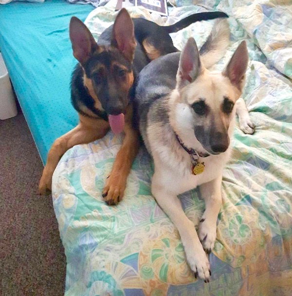 A black and tan German Shepherd and a white and grey on on a bed side by side