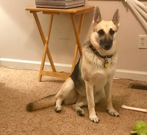 A white and grey German Shepherd sitting by a snack table