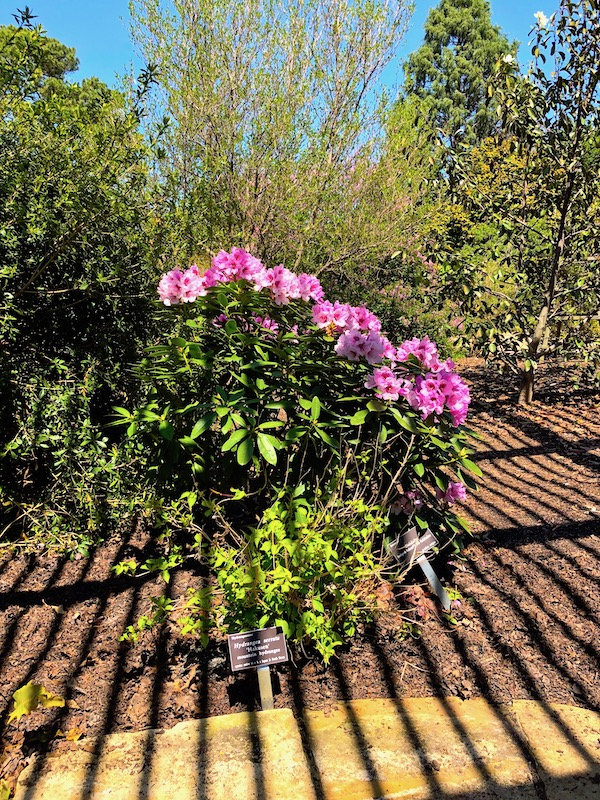 Landscape with trees and a hot pink rhododendron. The ground shows the shadow of the pergola roof not in view.