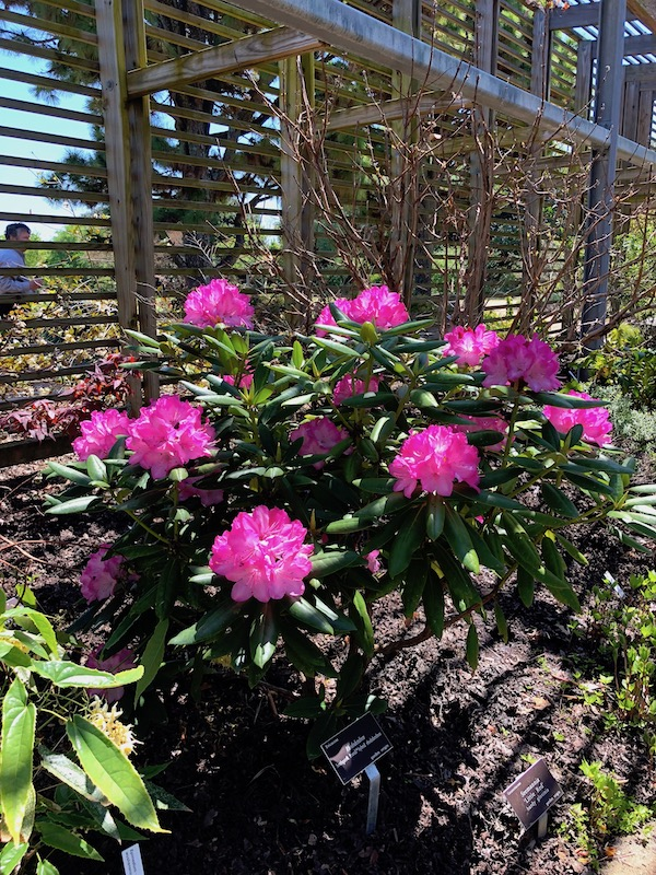 Deep fuchsia rhododendron and other plants inside the shade garden.