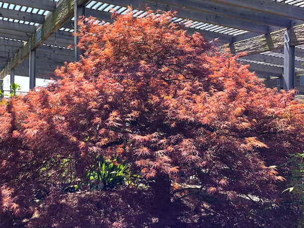 A copper colored Japanese Maple tree inside the shade garden.