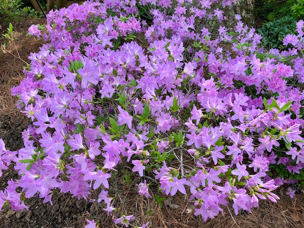 Violet colored azalea flowers fill the entire photo.