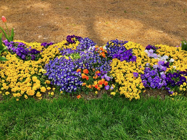 Amazing tulips in every color along with intensely colored pansies line the lush grassy lawn.