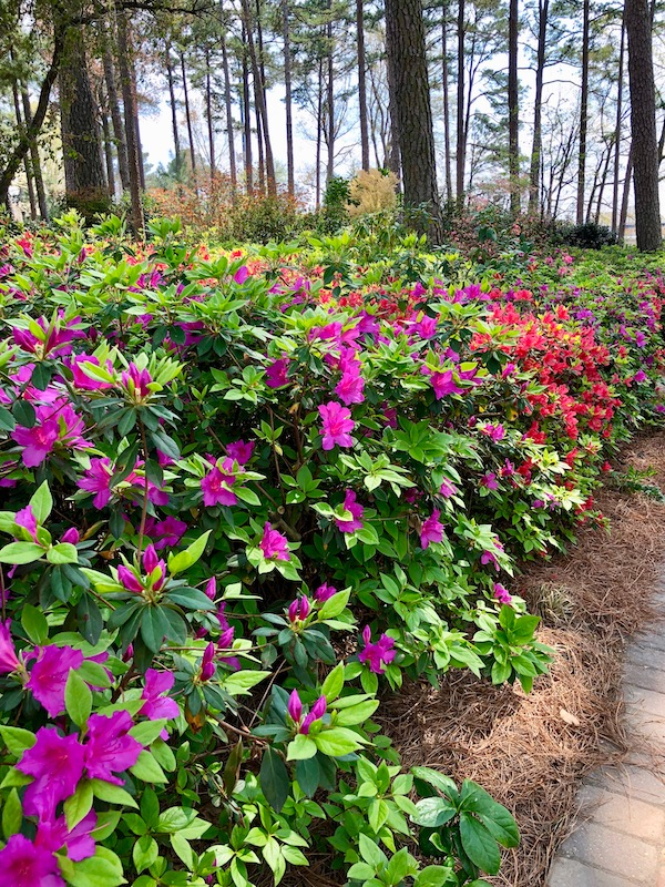 A garden full of fuchsia and red azaleas with green leaves.