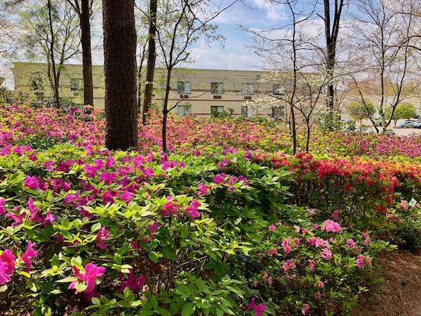 Colorful azaleas as far as you can see with trees and fluffy clouded blue sky.