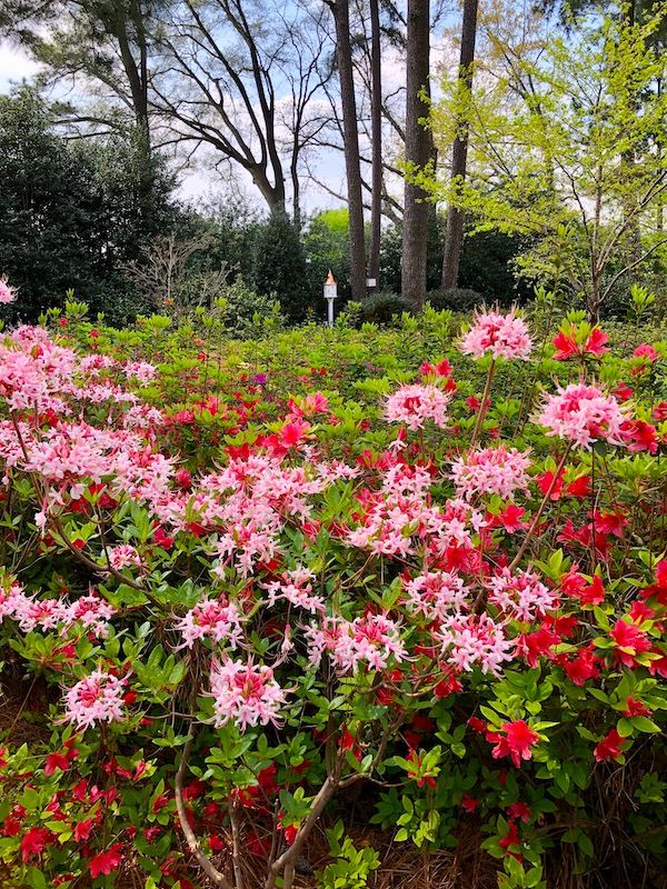 Pink and red azaleas with spidery petals. Trees and sky in the distance.