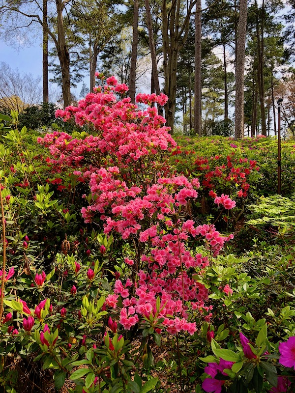 Deep pink azaleas along with foliage and trees.