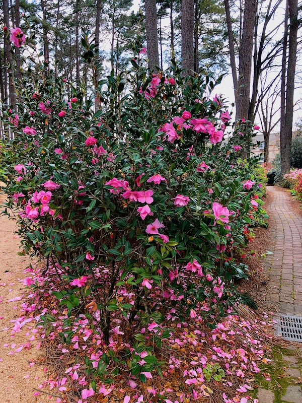 A hot pink azalea bush with trees in the background.