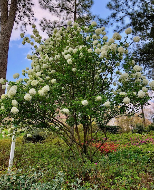A large bush with deep green leaves a snowball like white flowers.