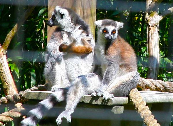 A family of ring-tailed lemurs at the Cape May County Zoo