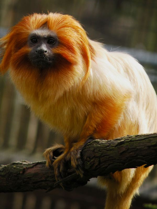 The Golden Lion Tamarin at the Cape May County Zoo