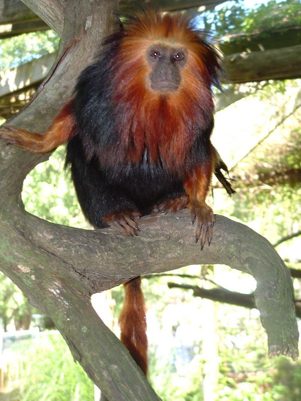 A golden headed lion tamarin on a tree branch at the Cape May County Zoo