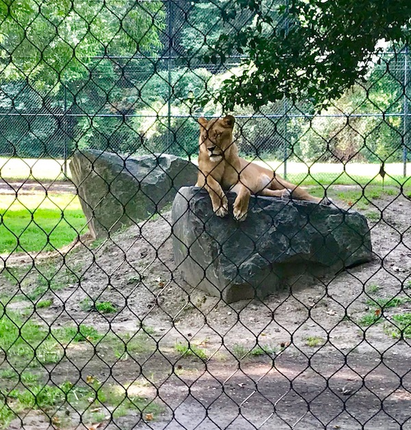 A lioness relaxing on a rock at the Cape May County Zoo