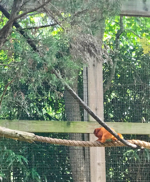 A Golden Lion Tamarin at the Cape May County Zoo