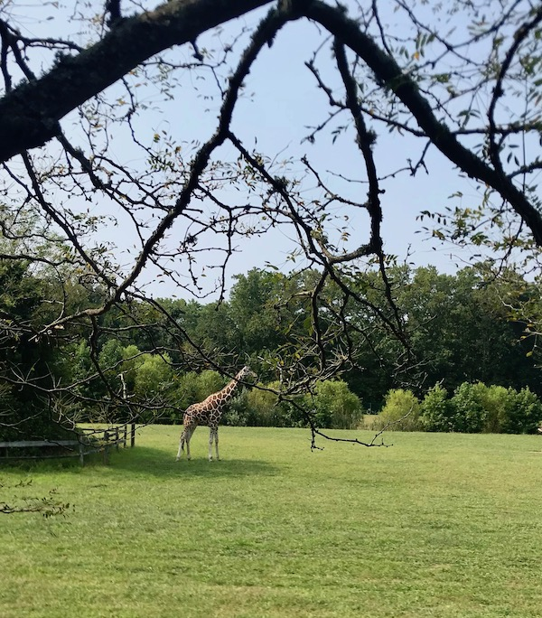 A single giraffe on the lawn at the Cape May County Zoo