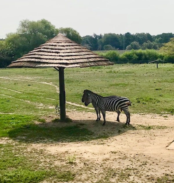 A pair of zebras standing in the shade of an umbrella at the Cape May County Zoo