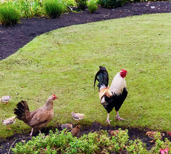Black and white rooster, a tan hen and little chicks on the grounds of Historic Smithville NJ.